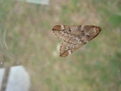 March Moth